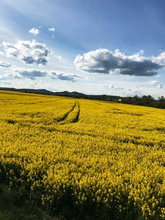 FOTKA - žluté pole na Slovácku