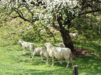 FOTKA - ovce pod starou jabloní