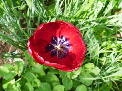 FOTKA - tulipán hodně rozkvetlý