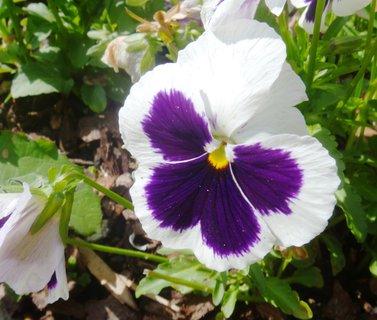FOTKA - bílá s fialovým