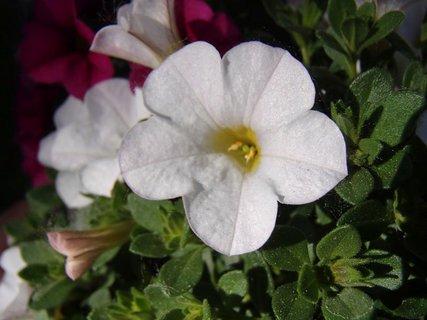 FOTKA - biela petúnka