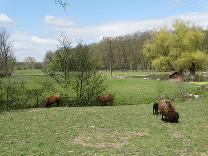 FOTKA - hnědě ovce na louce