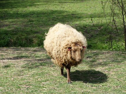 FOTKA - starší huňatá ovce