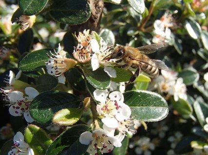 FOTKA - včielka hľadá sladkú pochutinu