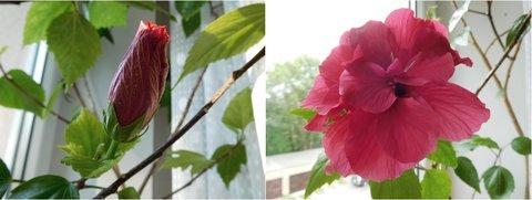 FOTKA - Poupě a po 2 dnech květ (26. + 28.5.)