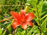 První květ lilie vykvetl 15.6.