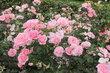 Výstaviště - Rozárium - růže růžové