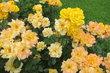 Výstaviště - Rozárium - růže žluté