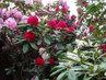 Krásná Lípa, rododendrony  barevné