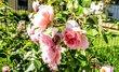 Něžné růžové květy růží