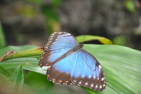 FOTKA - Motýl modrý