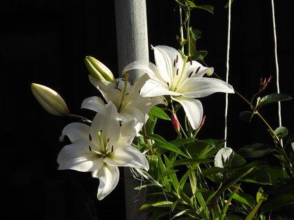 FOTKA - Bílé lilie v květináči