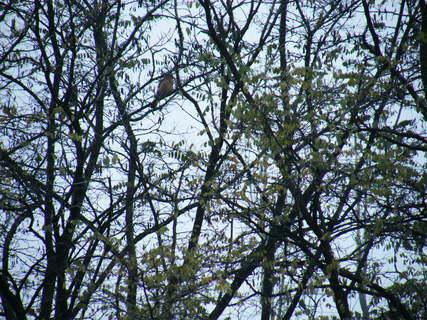 FOTKA - Sojka ve větvích