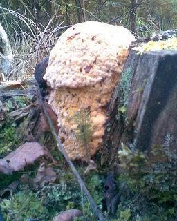 FOTKA - Dřevokazná houba