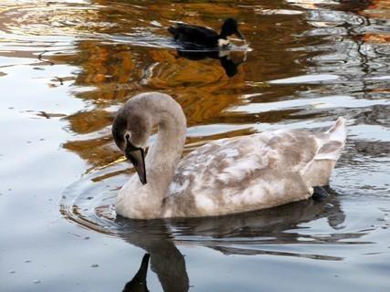 FOTKA - Mladičká labuť