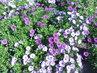 Krásné chryzantémy