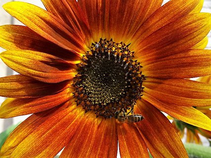 FOTKA - Velký květ slunečnice