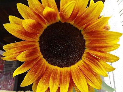 FOTKA - Jiný květ slunečnice
