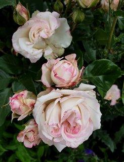 FOTKA - Odkvétají růžičky