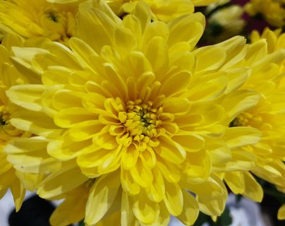 FOTKA - Květ žluté chryzantémy