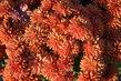 Hnědočervená