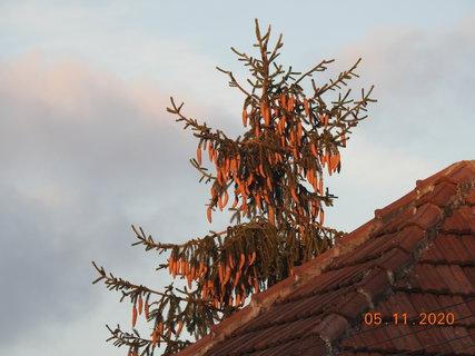 FOTKA - Sousedův smrk už vykukuje nad střechu