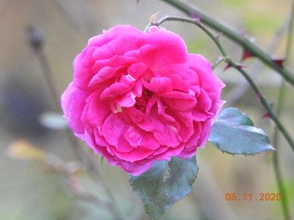 FOTKA - Nejspíš poslední květ pnoucí růže