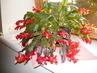 můj vánoční kaktus