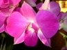 orchidej růž........