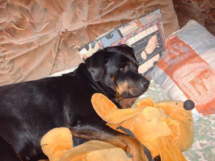 FOTKA - Roxy - náše 6-leta rottweilerka