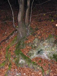 FOTKA - Kořen stromu.