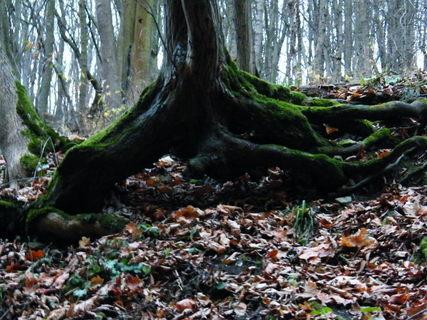 FOTKA - Kořen stromu a listí