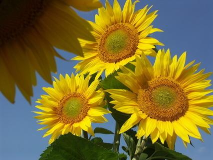 FOTKA - Krása slunečnic