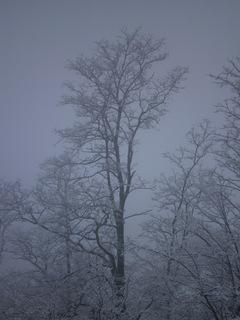 FOTKA - Zasněžené stromy v mlžném oparu