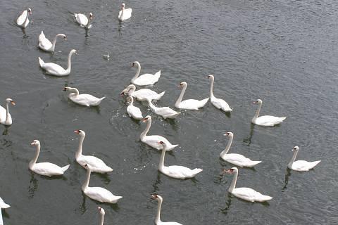 FOTKA - labutě1