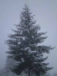 FOTKA - Zasněžený strom