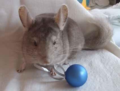 FOTKA - Chickinek s vánoční kuličkou