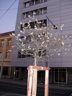 FOTKA - V�echny stromy v jedn� ulici rozkvetly
