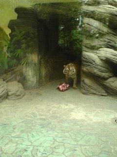 FOTKA - tygří oběd