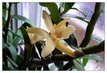 orchidej 37
