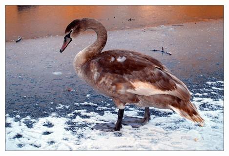 FOTKA - labuť na ledě