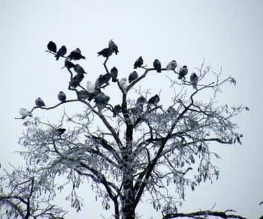 FOTKA - Zasněžený strom a hejno holubů