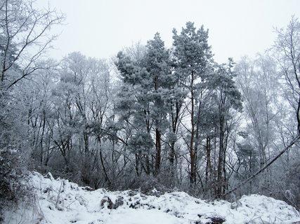 FOTKA - Zasněžené stromy.
