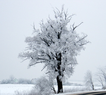 FOTKA - Zasněžený strom bílo