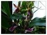 orchidej 38