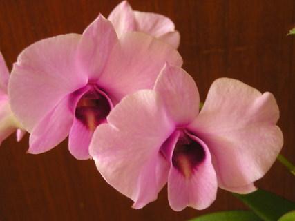 FOTKA - Dendrobium