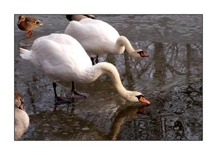 FOTKA - rozčílené labutě