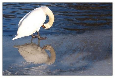 FOTKA - odraz labutě v louži