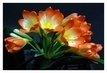klivie,trs květů