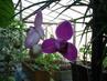 vykvetla mi orchidea,